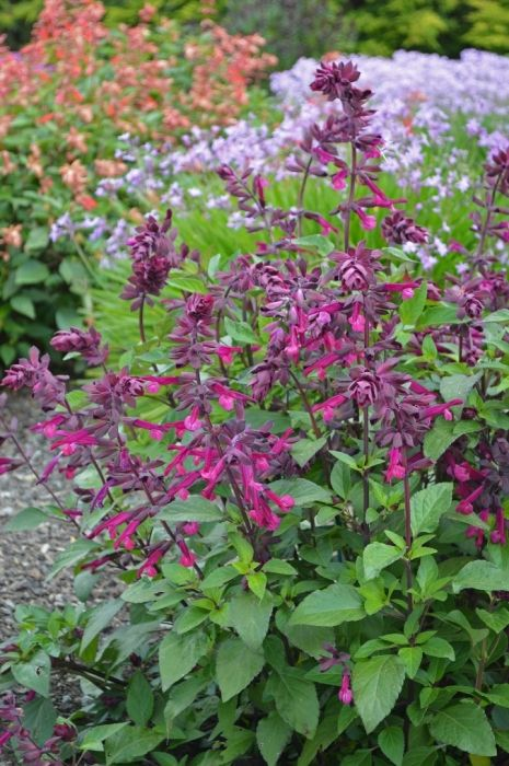 Buy Salvia Love and Wishes Online | Hayloft Plants.