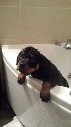This Rottie isn't liking bathtime