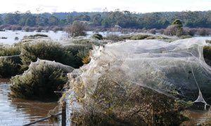 World's widest web? Flood-hit spiders find higher ground