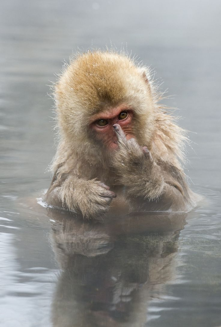 Photograph Japanese Macaque showing middle finger by Jari  Peltomäki on 500px