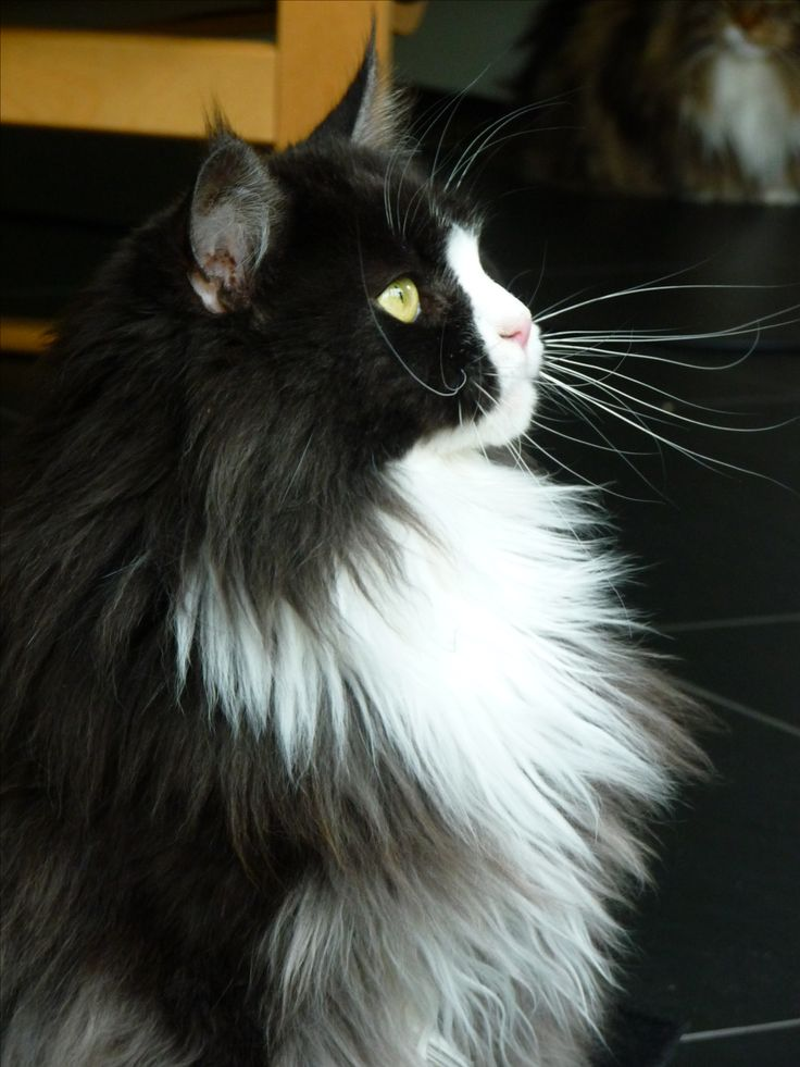 #MaineCoon #Black #Smoke #White #Cats Maine Street Isa