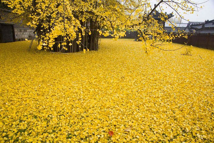 amazing Spectacular Ocean Of Golden Leaves Landscape From A 1,400-year-old Ginkgo Beautiful Tree  #Autumn #China #Gingko #Landscape #Leaves #Tree #Yellow This 1,400-year-oldginkgo beautiful tree drops a spectacular ocean of golden leaves every autumn. This ginkgo tree is located at the Gu Guanine Budd...