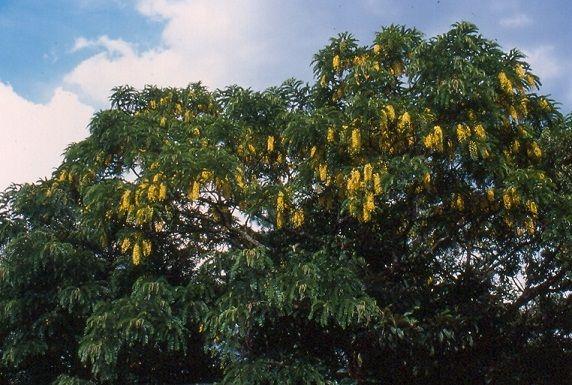 Acacia Ferruginea Tree is sacred to the Vedic Nakshatra Dhanishtha (23 of 27)