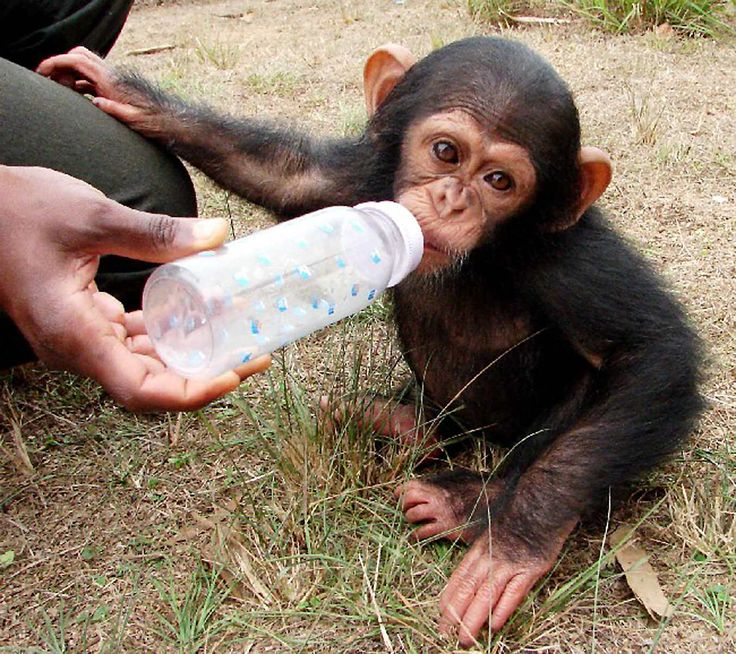 Today is the World Environment Day. Every Cheempo Product Sold Helps Protect Chimpanzees an Endangered Species.  #WorldEnvironmentDay #janegoodall #nature #endangeredspecies #chimpanzees #animals #loveanimals #animalrights #animalslover #animalprotection #Cheempo #NimaKids