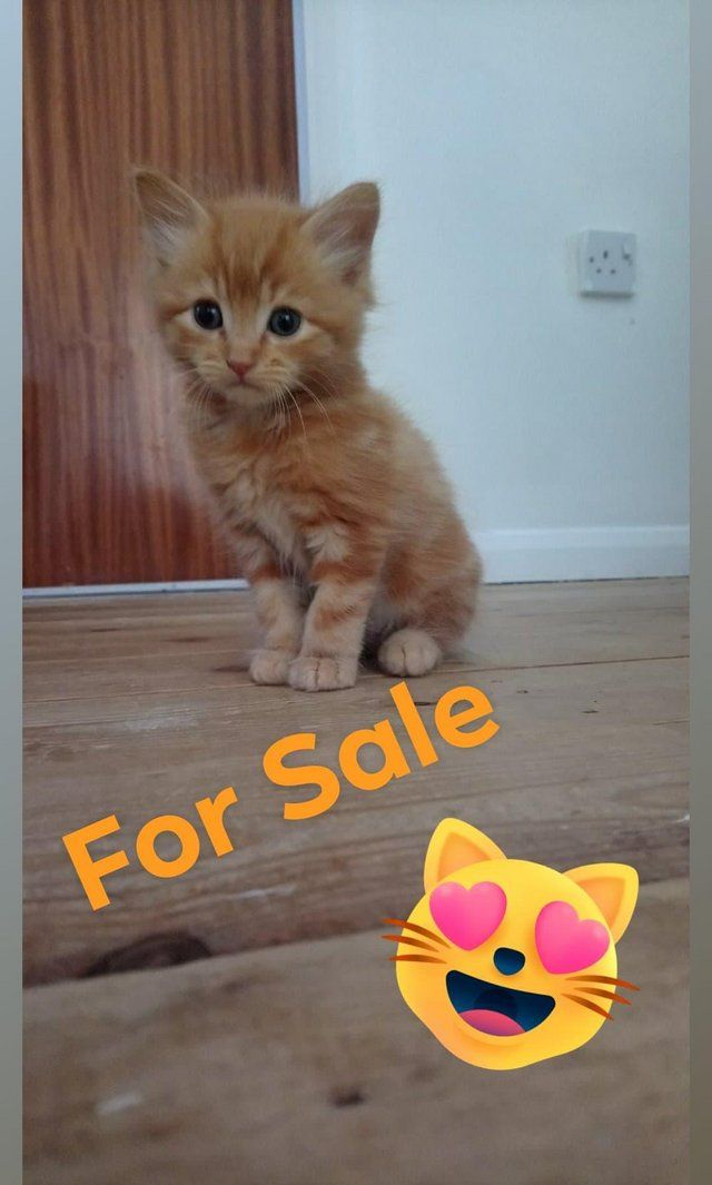 Super Fluffy Male 2 Ginger 1 Black Kittens Long Hair For Sale In Ravenstone Leicestershire Prelove In 2020 Ginger Kitten Ginger Kittens For Sale Long Haired Kittens