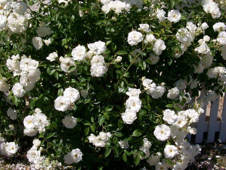 White Garden Rose Bush 7 best iceberg rose images on pinterest | rose bush, white gardens