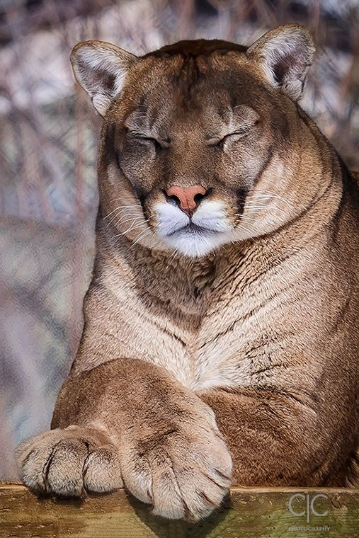 Mountain Lion catnap, beautiful! ! All animals are magnificent when in the in the wild