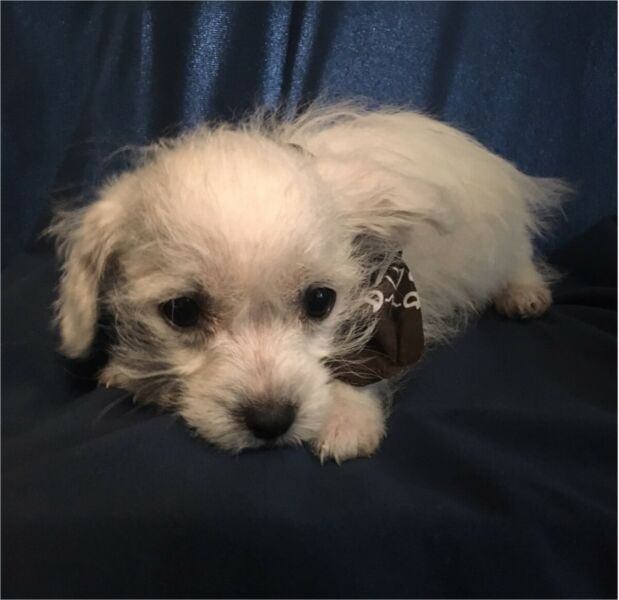 Male Wee Chon Pup For Sale Dogs And Puppies Puppies Dogs