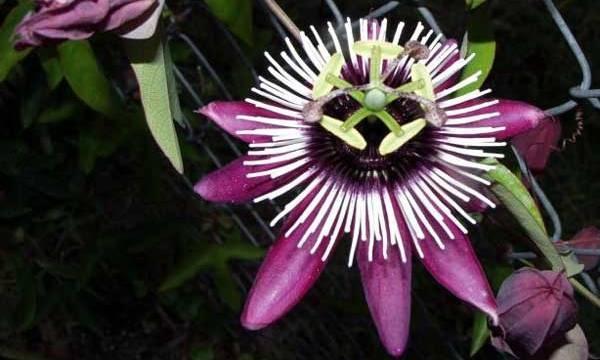 Passiflora Violacea  Terrazzo fiorito e piante commestibili!  www.thegreenrevolution.it