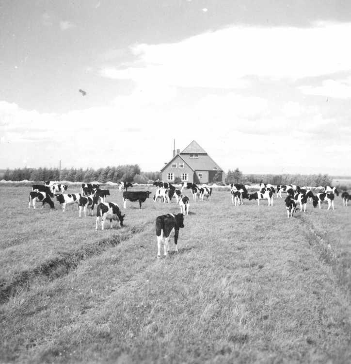 Noordoostpolder, ontginningsboerderij 1949.