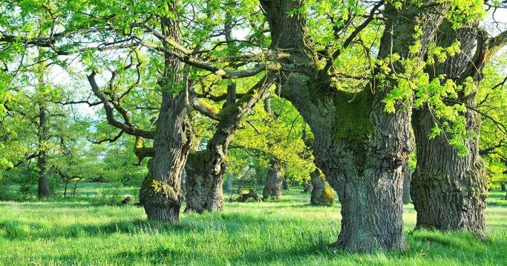 Na Slovensku máme unikátny dubový háj, o ktorý sa zaujímajú vedci z celého sveta. U nás ho pozná málokto.