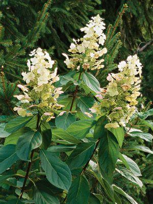 25 best ideas about pee gee hydrangea on pinterest for Tall flowering shrubs