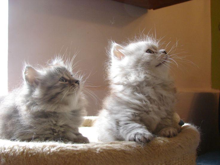 deux chatons sibériens silver - Les Tsars de Foncourt