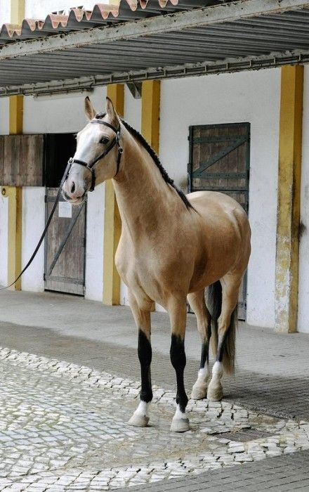 Highest score was given toGuardião do Penedo (Sire: Trovador Raposa BR, Dam: Vistosa, SD: Ídolo) bred and owned by Resina Antunes. 77,5 is considered to be a very good score, Guardião do Penedo is a stunning horse and the photos below might not really do him justice. You find the …