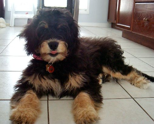 Mini Bernedoodle ! I think I just fell in love! He's adorable...I've never seen this combo!