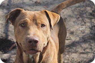 Lucedale, MS - American Staffordshire Terrier/Labrador Retriever Mix. Meet Houston, a dog for adoption. http://www.adoptapet.com/pet/17856190-lucedale-mississippi-american-staffordshire-terrier-mix