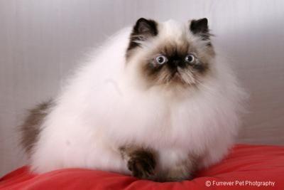 Himalayan cat | he looks so startled, butsooo flluuuufffyyy!!!  So cute! ;D: Beautiful Cat, Beautiful Animal, Cat Meow, Kitty Kat, Cat Cat, Himalayan Cat, Himmie Rules, Cat Breeds, Persian Cat