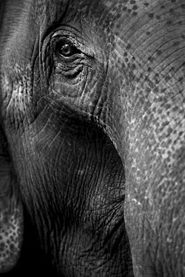 Eye contact with an elephant in Bardia National Park, Nepal, Asia. Available as poster at printler.com, the marketplace for photo art. Photographer Henrik Brunnsgård