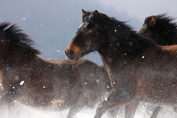 World War II caused a severe decline in the number of Hucul horses in Czechoslovakia. After the end of the war, only 300 Hucul horses remained there. Img: Carpathian pony, Hucul (Equus caballus)