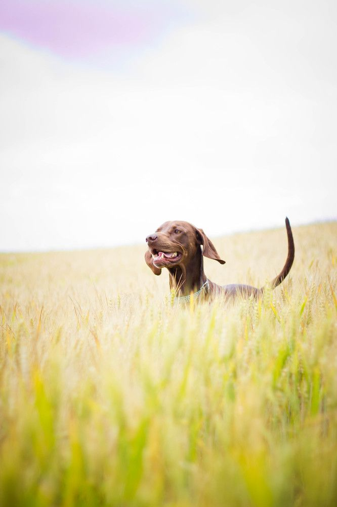 Vizsla: Animal Planets, Baby Kangaroos, Country Dogs, Happy Dogs, Fur Baby, Fields Trips, Dogs 可愛すぎる犬, Baby 3Dog, Baby 3 Dogs