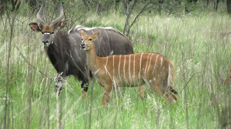 Stunning Kudu Couple Limpopo South Africa. We met this young couple out in the bush.