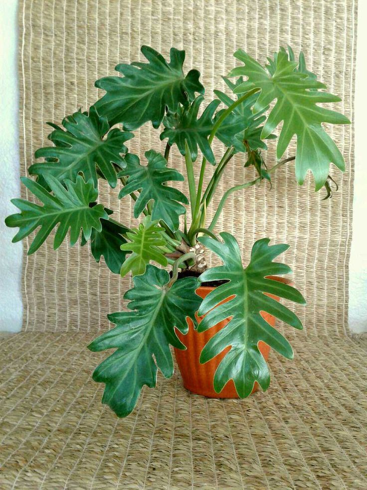 Philodendron Xanadu In 7 Terracotta Colored Bioplanter From A Small Online Plant Nursery Phoenix