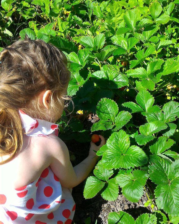 """""""Let me take you down cause I'm going to Strawberry Fields"""" (the Beatles).  Бабулина клубничная грядка. Ягод много. Красные ароматные. Но почему они мне кажутся кислыми? Я почему-то  все меньше люблю фрукты. И все больше пирожные особенно шоколадные  Только пожалуйста не говорите об этом моему ребенку  #strawberry #strawberryfieldsforever #мояягодка #клубника #предпочитаюшоколад #авареньебудуваритьизвишни"""
