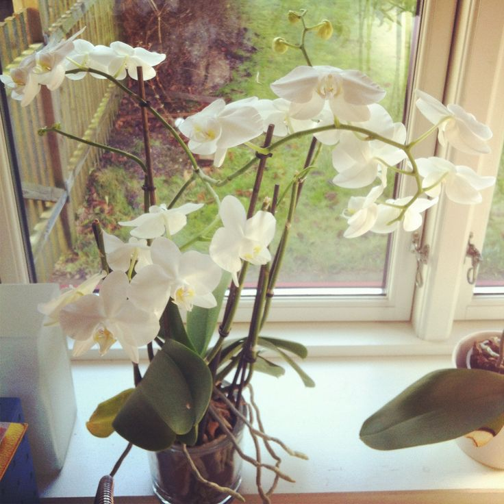 Phaelenopsis orchidé. Room with a view. Herfra min verden går …