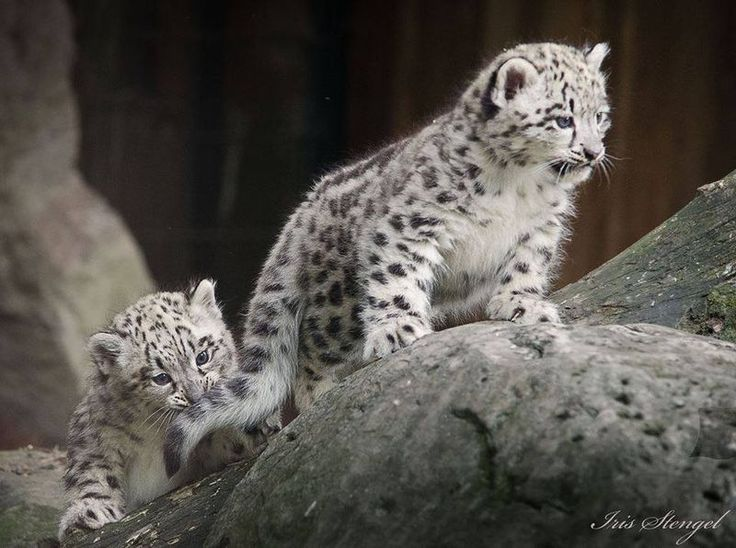 On May 4, Zoo Krefeld, in Germany, welcomed two new Snow Leopards. The two females were born to dad, Patan, and mom, Dari