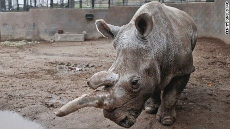 The world's northern white rhinoceros population plunges by a quarter with the  death of 41-year-old Nola at the San Diego Zoo Safari Park.