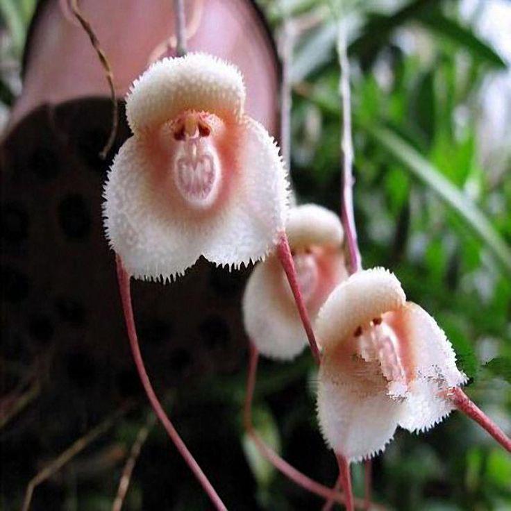 Egrow 200PCS Monkey Face Orchids Seeds Multiple Varieties Plants Garden Bonsai Flower