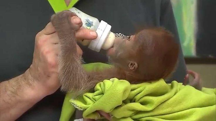 Seekor Bayi Orangutan yang Ditelantarkan Induknya, Diperlihatkan di Kebu...