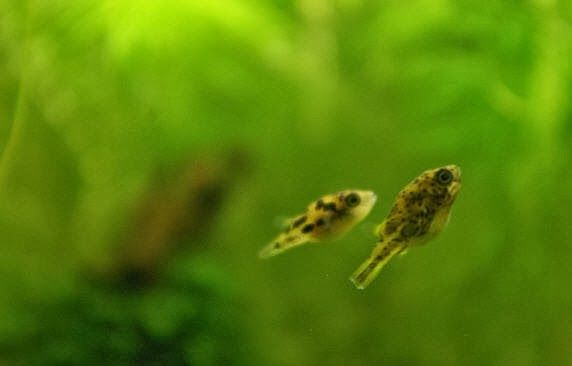 97 best pufferfish images on pinterest fish aquariums for Dwarf puffer fish for sale