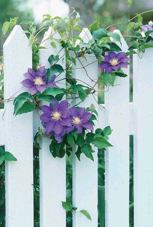 Classic..Clematis on a picket white fence