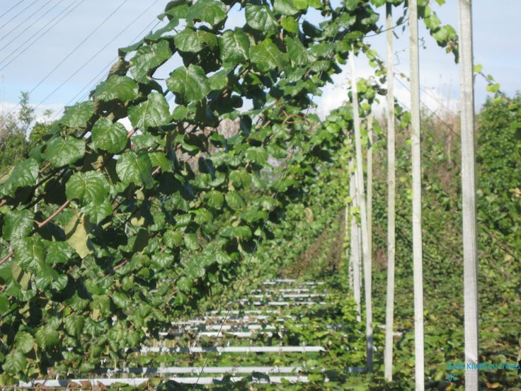 Gold Kiwifruit Vines