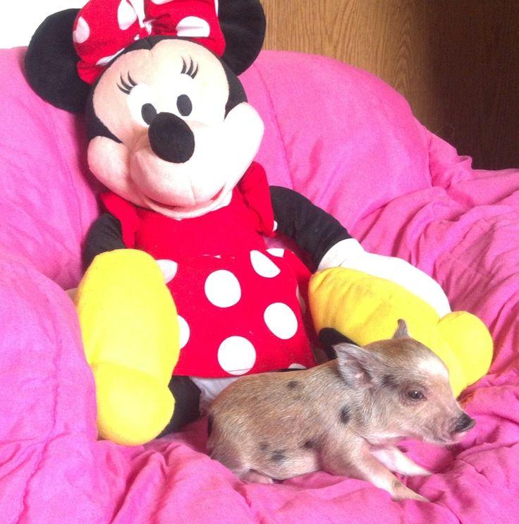 Miniature Pigs | Miniature Pigs for Sale | Mini Pigs for Sale