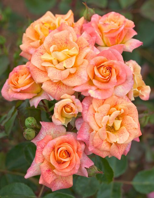 Michel Serrault ® Var. Meipicoty ~ Hybrid Tea  -  Light yellow more or less powdered with pink.