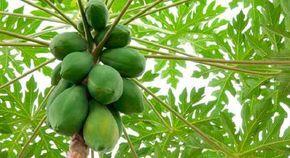 O mamão é uma fruta deliciosa e muito importante para a nossa saúde, graças ao seu poder nutritivo e suas propriedades medicinais.Se você não sabe, ele pode tratar problemas como:- Má digestão- Prisão de ventre