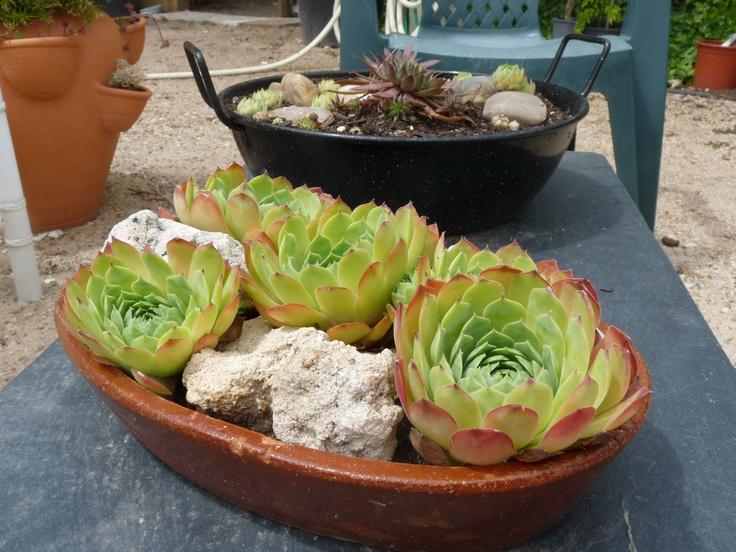 17 mejores im genes sobre plantas en pinterest santiago for Suculentas chile