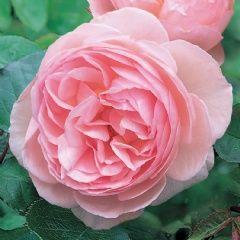 Heritage ™ (Ausblush)   David Austin English Rose Collection