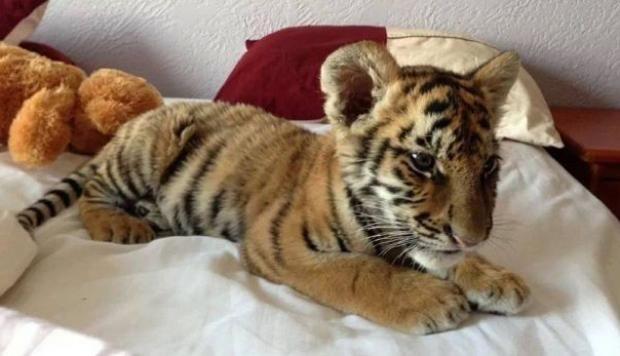 En Facebook tienda de mascotas vende panteras, tigres y leones - 1