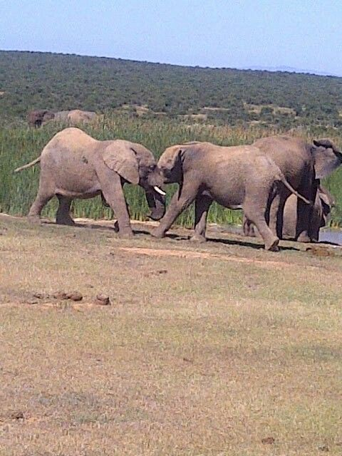 Young elephant playing - Addo Elephant Park