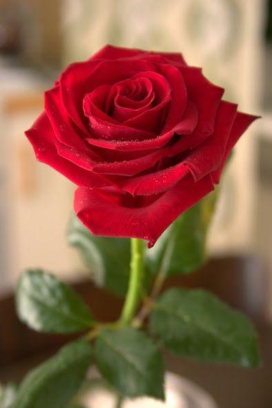 ღღ✻Red Roseღღ✻ – Blumenversand Rosenbote.de – Flowers & Gifts