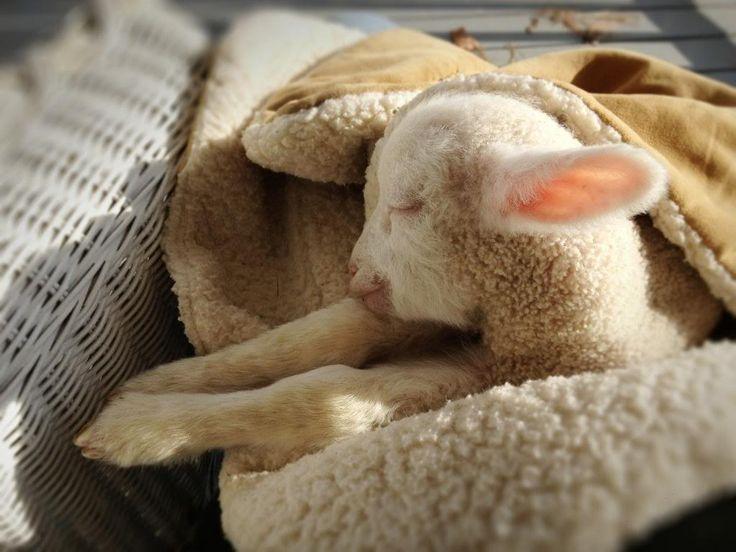 little lamb sleeping