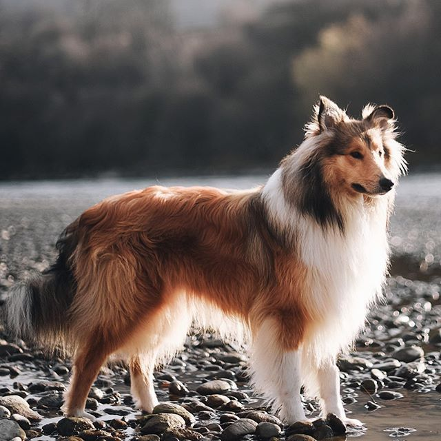 Crazy Shetland Sheepdog Short Hair In 2020 Sheep Dog Puppy Shetland Sheepdog Puppies