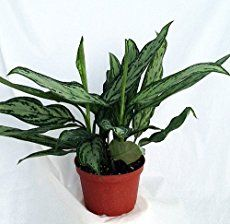 Chinese Evergreen plant is easy to grow, and tolerant of low light and low humidity. Find out when to water, how to fertilize and why you shouldn't prune this plant.