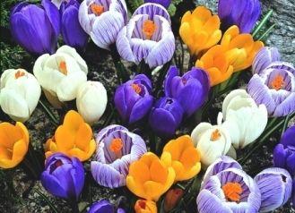 Large Flowering Mix Crocus Bulbs | Buy Crocus Bulbs in Bulk at EdenBrothers.com