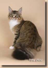 #MaineCoon #Black #Tabby #Mackerel #White  #Cats  GC, NW, Tuvets Rags And Riches