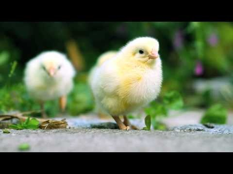 Cutest Farmerama Piglet and Chicklet - Trailer: Bigpoint