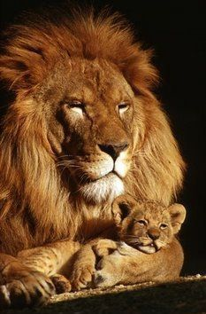 This lion and cub are feeling safe and secure.